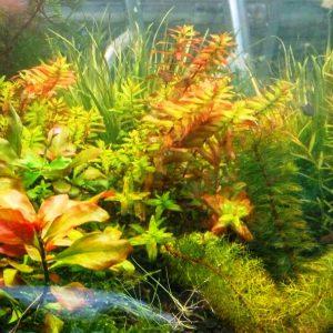 צמחי אקווריום