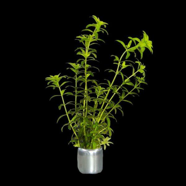 Hemianthus micranthemoides (erroneous), Micranthemum glomeratum