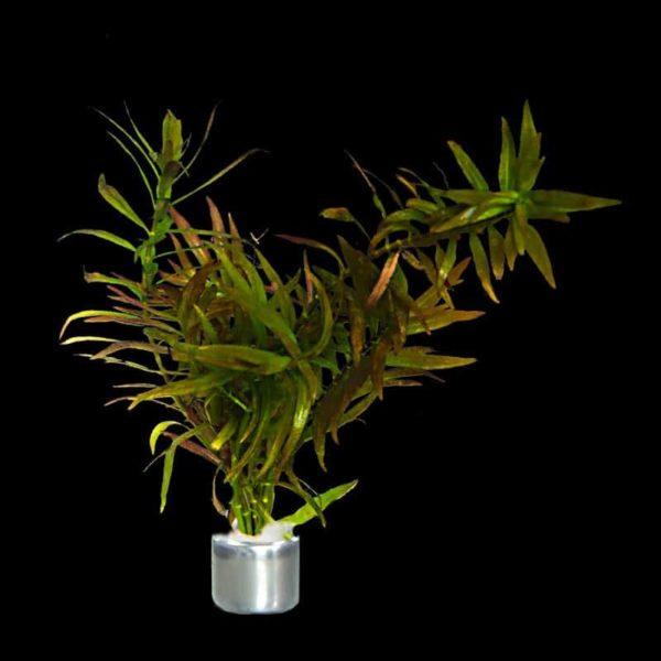 Ludwigia brevipes