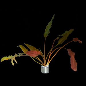 Cryptocoryne wendti 'brown'