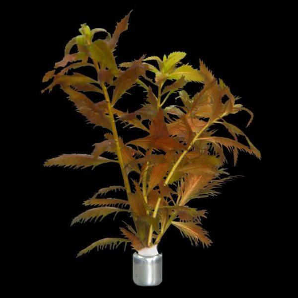 Proserpinaca palustris 'Cuba'