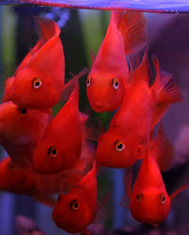 תוכי דם/ צהוב   Blood Parrot Cichlid