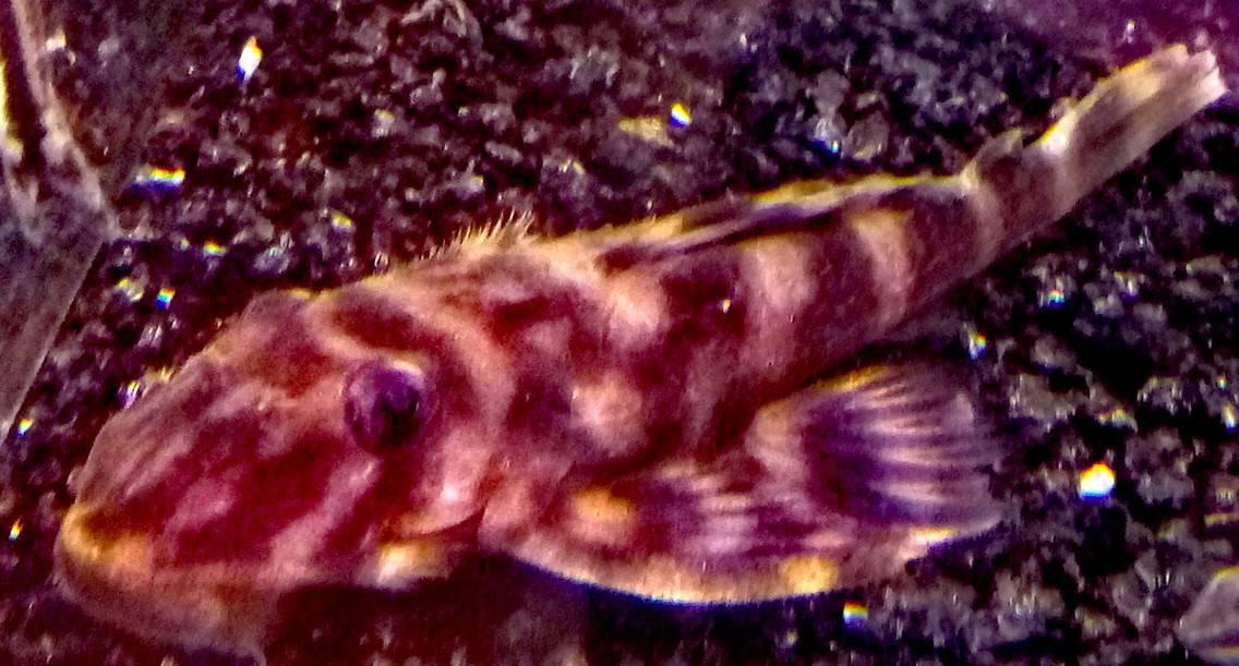 L135   Worm Line Peckpltia