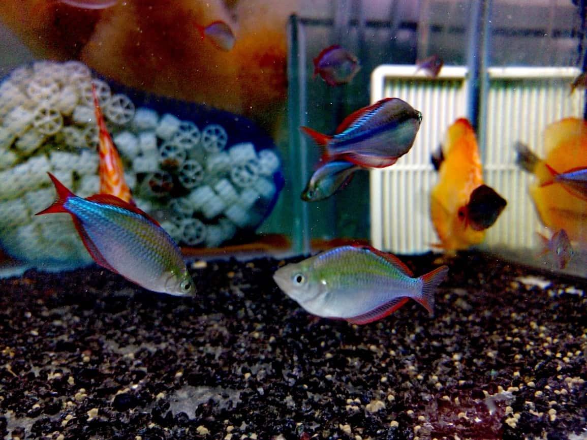 קשת נאון | Dwarf rainbowfish