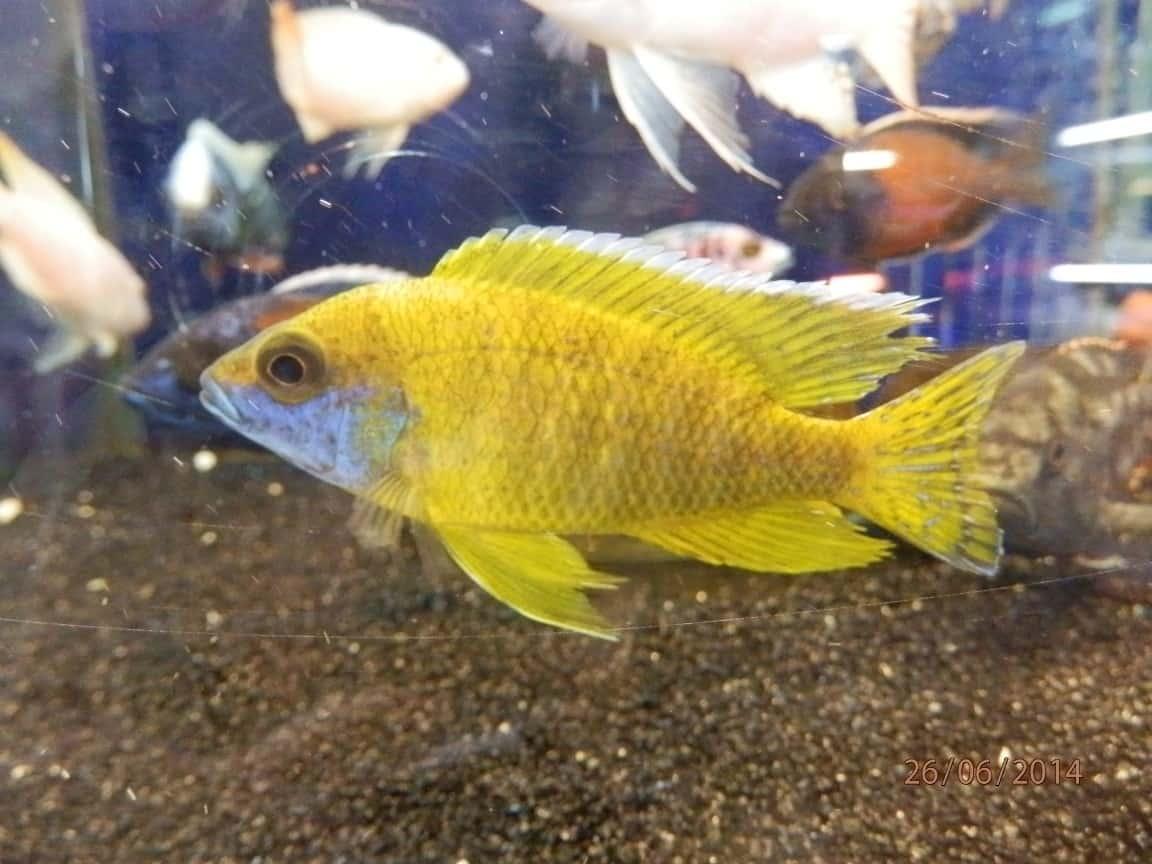 פיקוק צהוב (סאן שיין/ בנצ'י)   Peacock sunshine