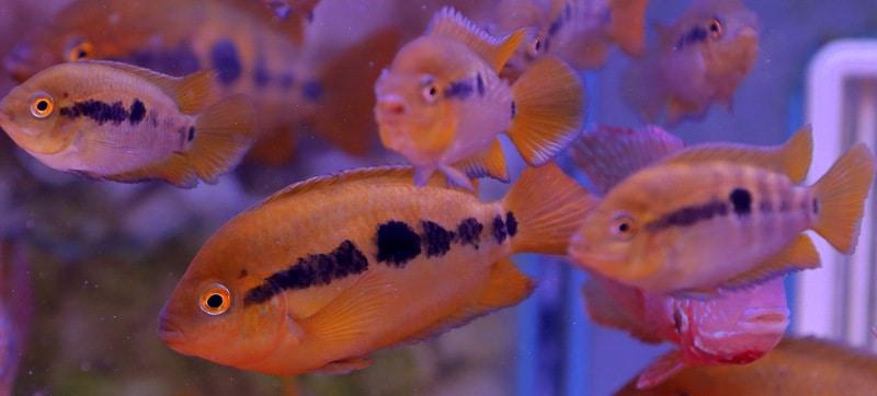 מולטישפינוזה   Rainbow Cichlid