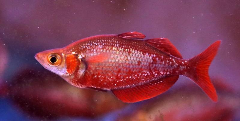 קשת אדומה | Red Rainbowfish