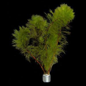 Myriophyllum Pinnatum