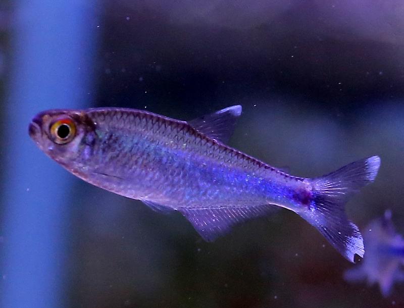 קשת כחולה | Blue rainbowfish