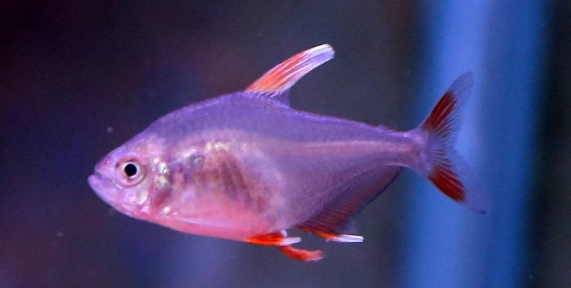 טטרה רוזי- סנפיר לבן | White fin rosy tetra