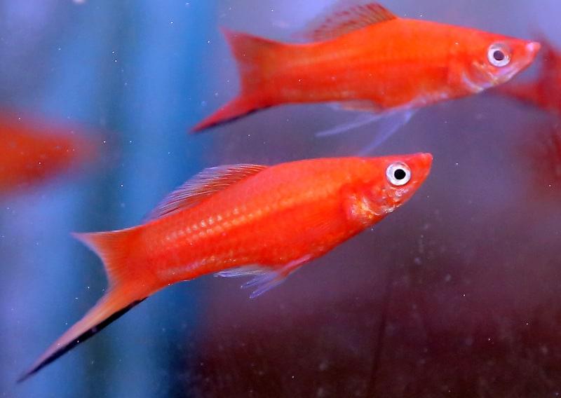 סייפן אדום   Red Swordtail