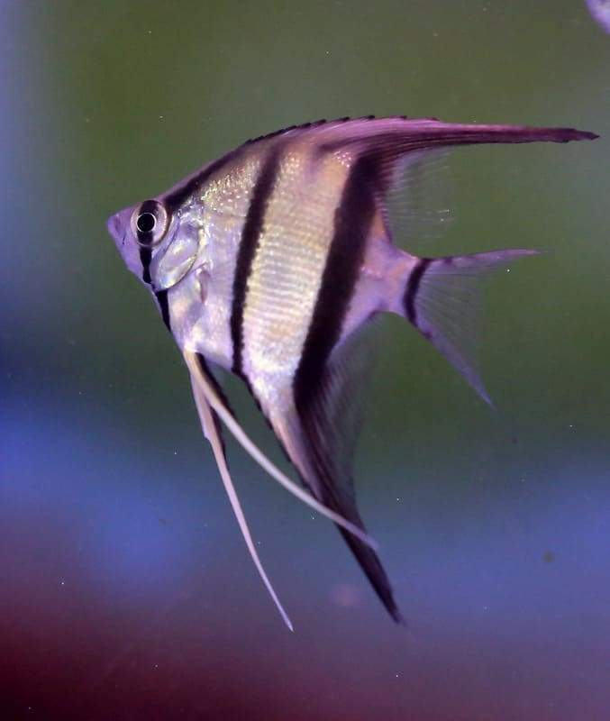 פייק אלטום   Fake Altum angelfish