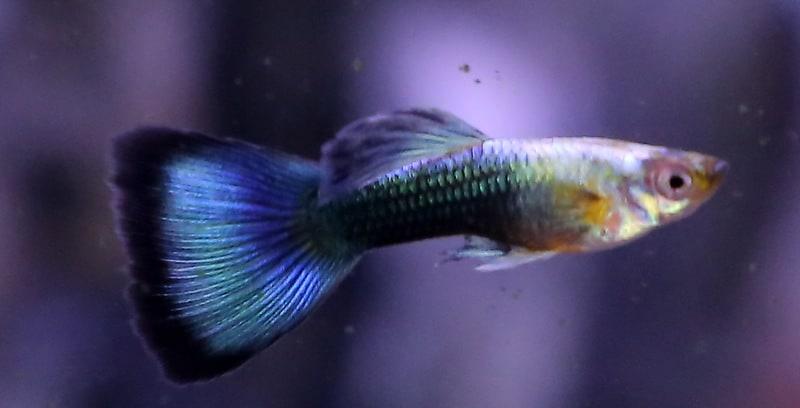 גופי בלו נאון   Blue neon guppy