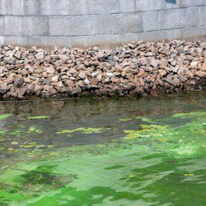 אצות-סניפרים חוות גידול דגי נוי