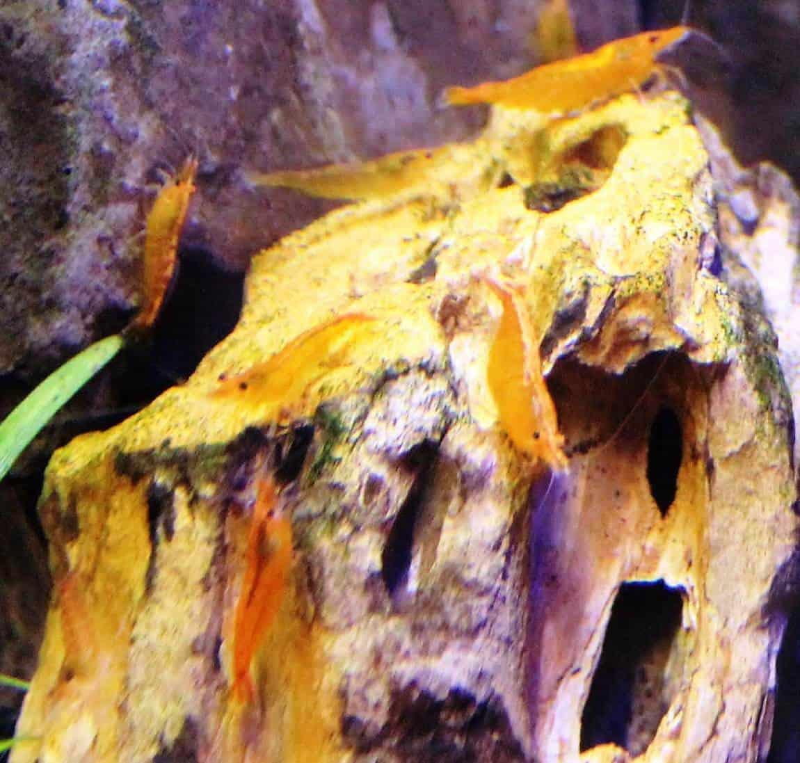 שרימפ דלעת   Pumpkin shrimp