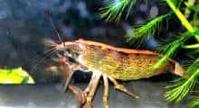 שרימפס גפוניקה -סניפרים חוות גידול דגי נוי