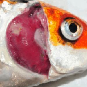 תמונה 2: התחלה של נקרוזיס בזימי דג.