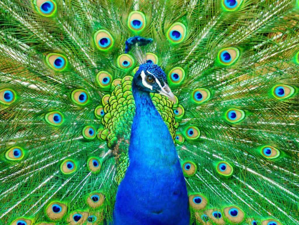 תוצאת תמונה עבור peacock images