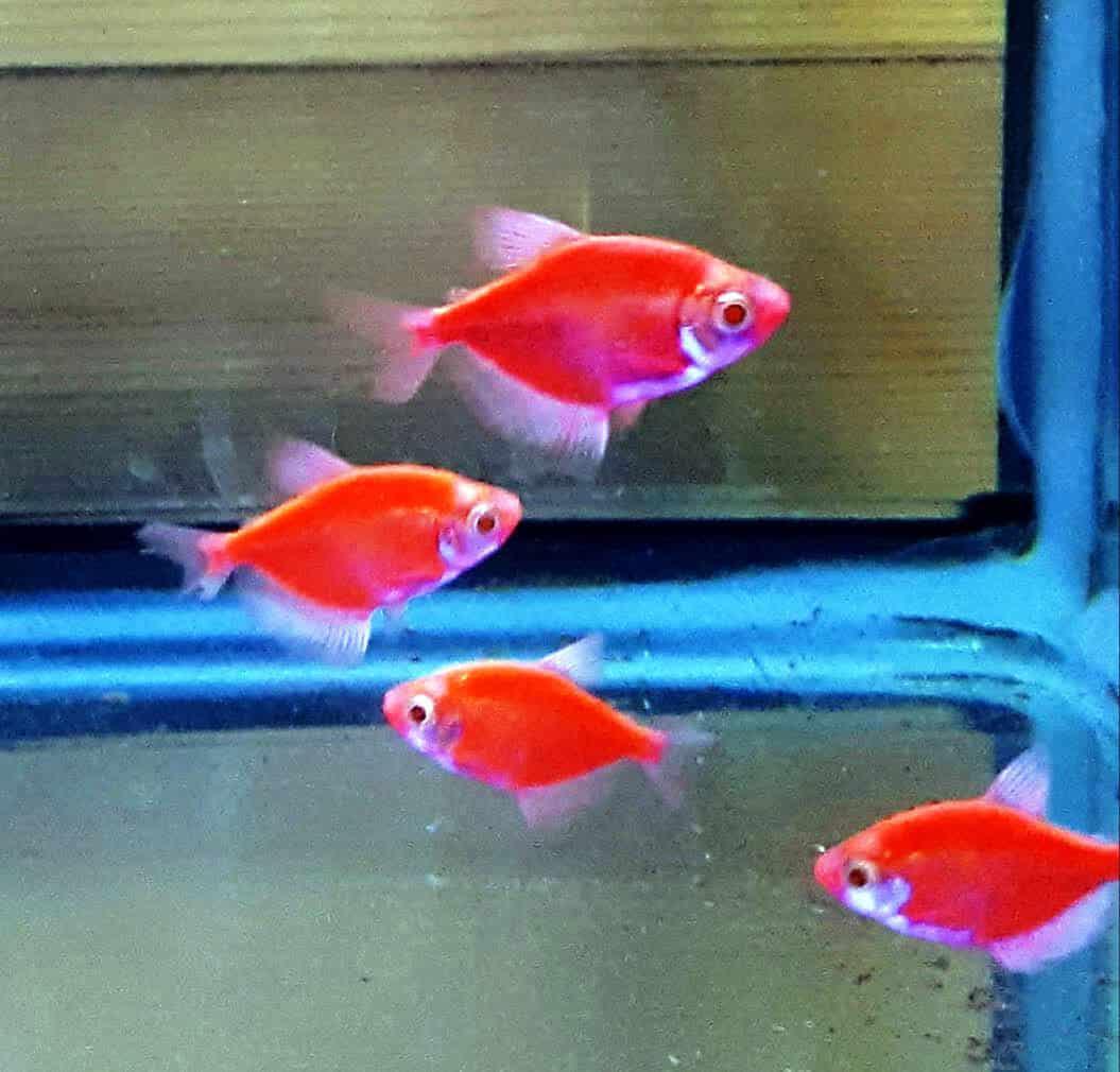 טטרה אלמנה גלופיש | Red glo-fish tetra