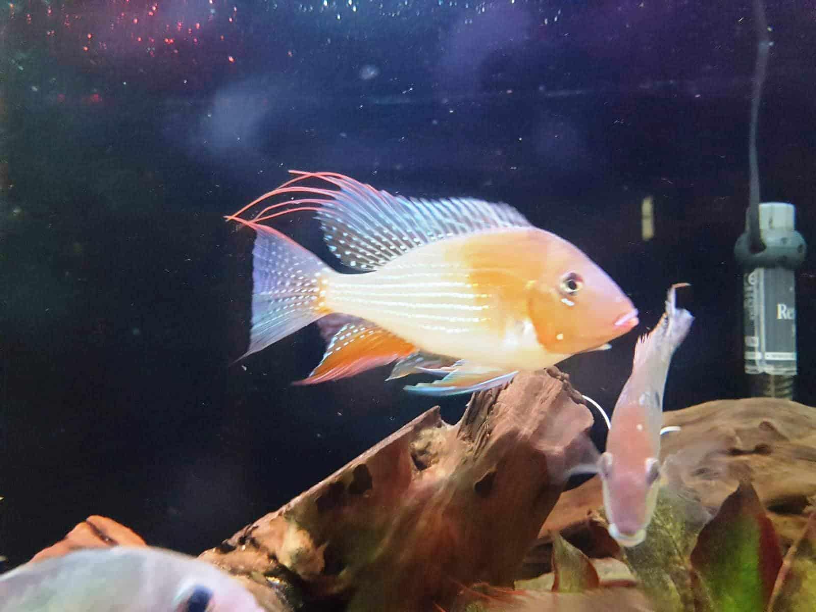היקלי אלבינו   Albino Thread-finned cichlid