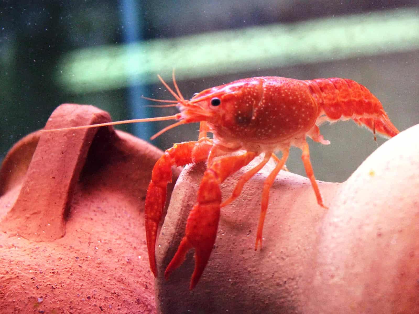 לובסטר ביצות אדום| Red Swamp Crayfish