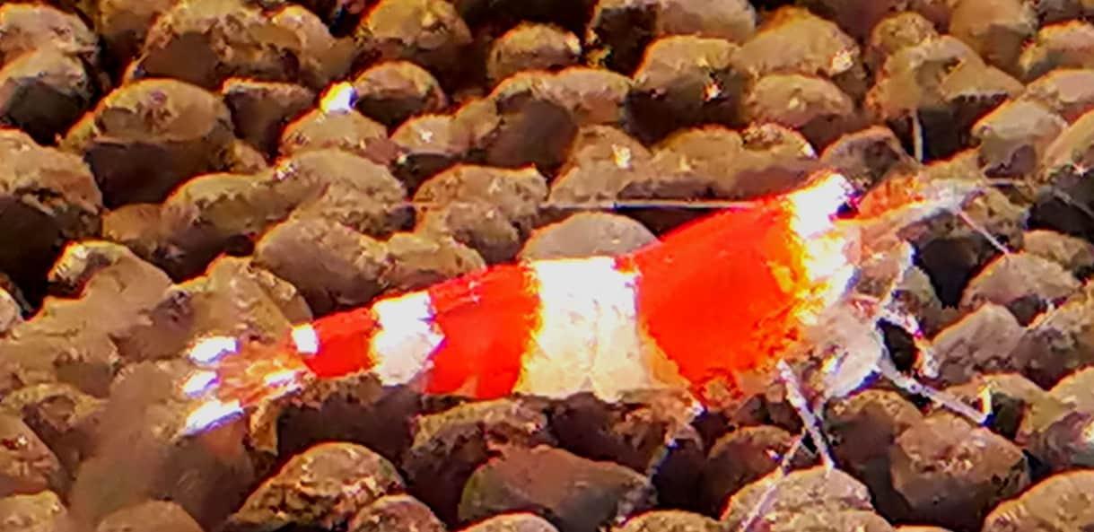 רד קריסטל   red crystal