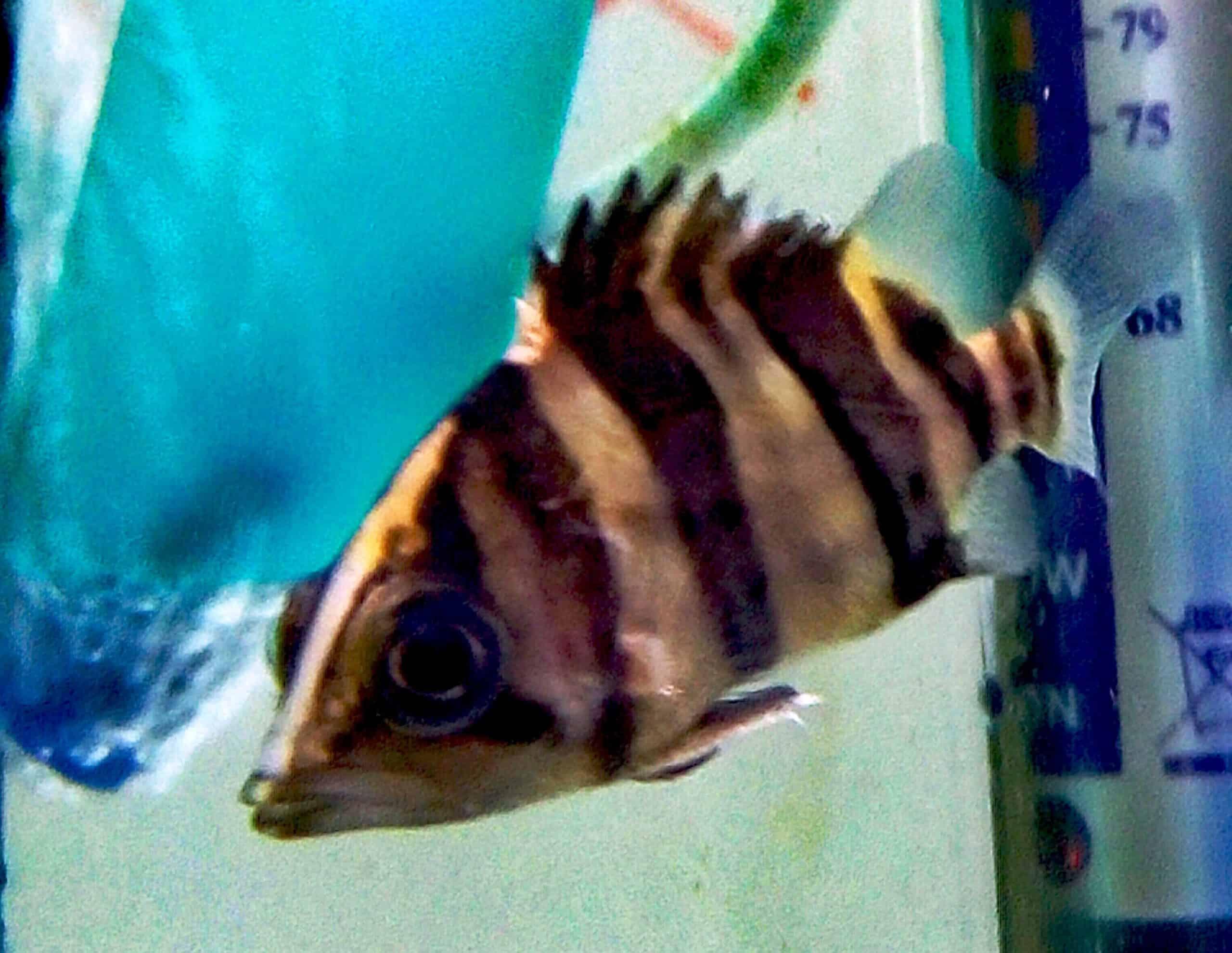 נמר סיאמי | Siamese Tigerfish