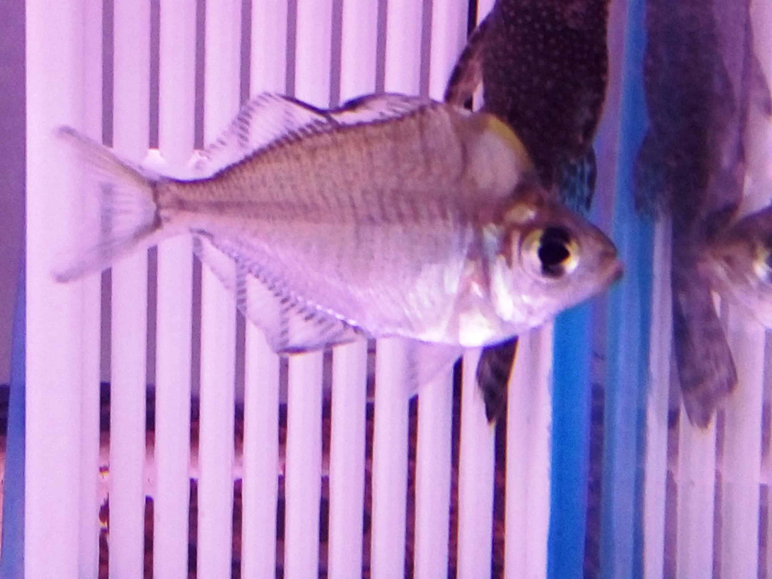 דג זכוכית קונדור | Humphead glassfish