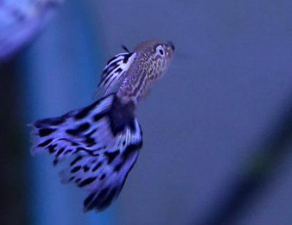 עיקרון ההכבדה- מה דגי האקווריום מלמדים אותנו?