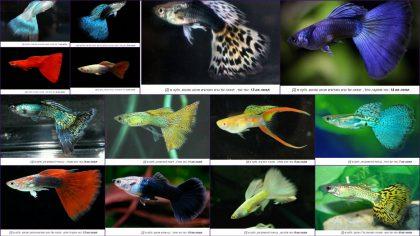 מופעים בדגים: מבוא לגנטיקה בגופים