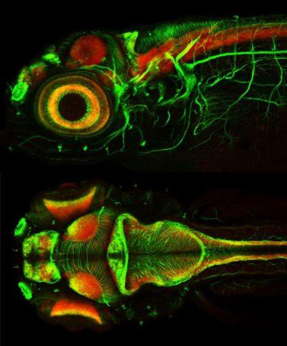 יעפת (JET LAG), גם אצל דגים- הסכנה של אור קבוע באקווריום