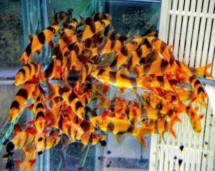 אכלוס דגים: הרבה דגים וקצת מים- התאמת כמות הדגים למאפייני האקווריום