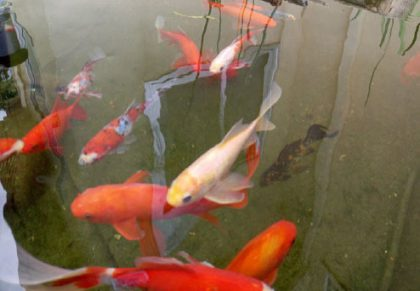 האם דגי הבריכה נכנסים ל 'תרדמת חורף'?