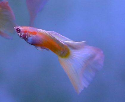 מופעים בדגים: גופי- הדג בעל אלף סוגי הזנבות