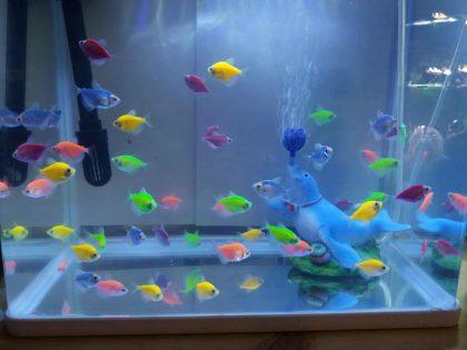 חלום שהתגשם- דגים מהונדסים גנטית