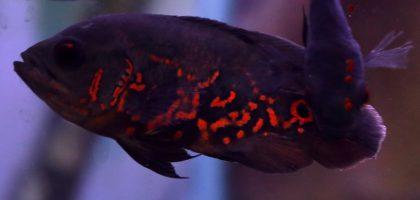 התנהגות דגים: עושים עצמם מתים- דגים מתחזים